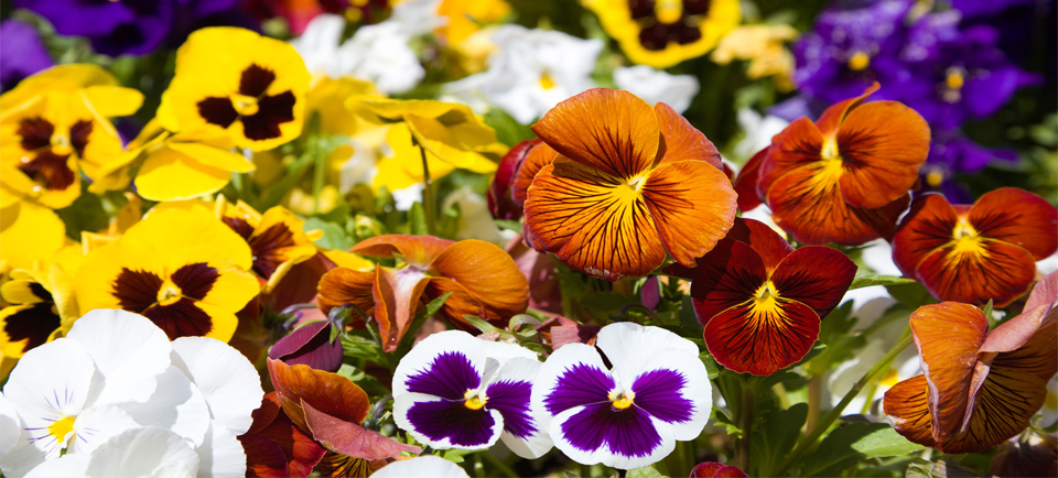 Top 10 Winter & Spring Bedding Plants