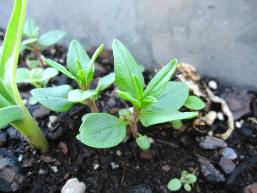Summer savory seedlings
